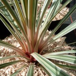 Cordyline australis 'Pink...