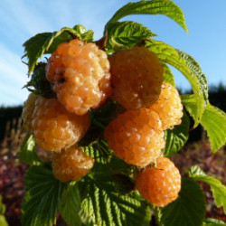 Rubus idaeus 'Fall Gold'