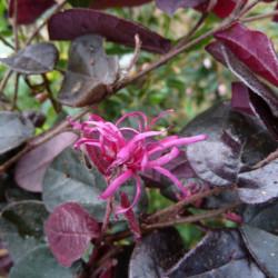 Loropetalum chinense 'Plum...