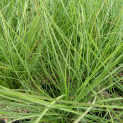 Miscanthus sinensis 'Cute One'