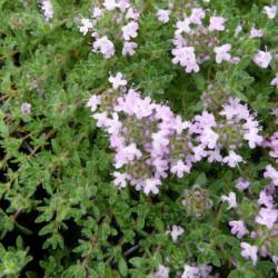 Thymus praecox 'Pink Chintz'