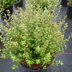 Lonicera nitida 'Tidy Tips'