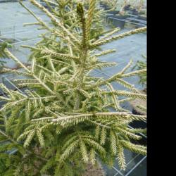 Picea orientalis 'Wittbold'