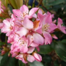 Raphiolepis × delacourii...