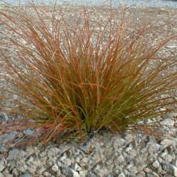 Carex testacea 'Prairie Fire'