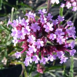 Verbena bonariensis 'Lollipop'
