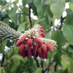 Picea likiangensis var....