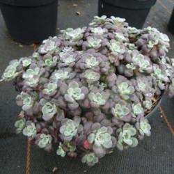 Sedum spathulifolium...