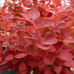 Berberis thunbergii 'Orange...