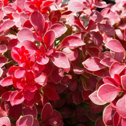 Berberis thunbergii 'Ruby...