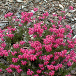 Erica cinerea 'CD Eason'