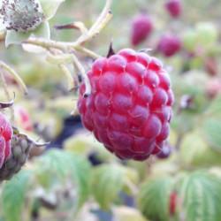 Rubus idaeus 'Marastar'