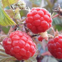 Rubus idaeus 'Versailles'