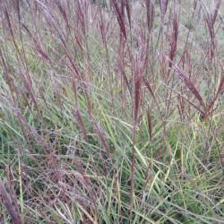 Miscanthus sinensis 'Little...