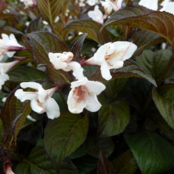 Weigela 'Velda' EBONY AND...
