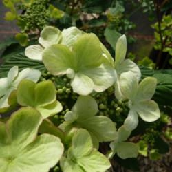 Viburnum plicatum 'JWW5'...