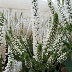 Veronica longifolia 'First...