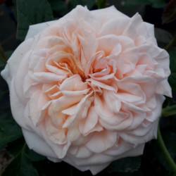 Rosa 'Noa1112130' AMBER™