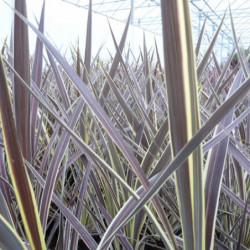 Cordyline × banksii...
