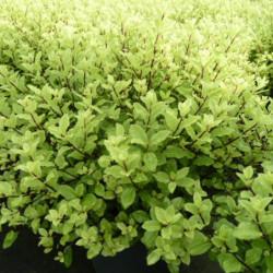 Pittosporum tenuifolium...