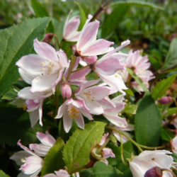 Deutzia 'NCDX2' YUKI CHERRY...