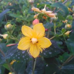 Hypericum × inodorum...