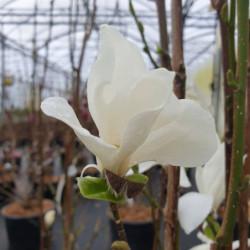 Magnolia kobus 'Isis'