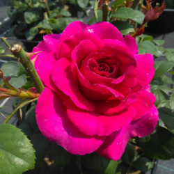 Rosa 'noa38121' PURPLE™