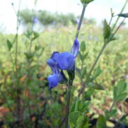 Salvia microphylla...