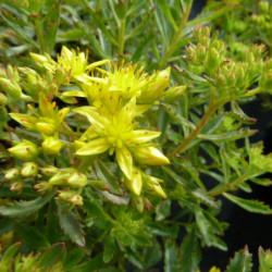 Sedum floriferum...