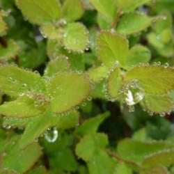 Spiraea betulifolia...