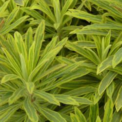 Euphorbia × martinii 'Ascot...