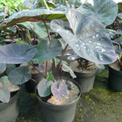 Colocasia esculenta 'Kona...