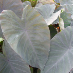 Colocasia esculenta 'Black...