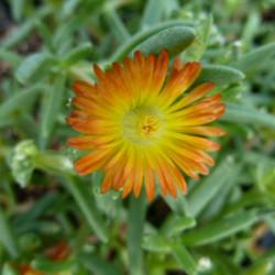Delosperma cooperi 'Orange...