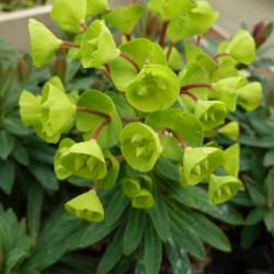 Euphorbia 'Redwing' ® -...