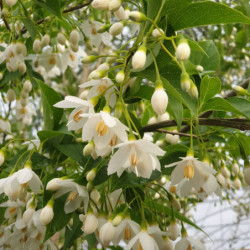 Styrax japonicus 'June Snow'