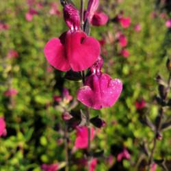 Salvia microphylla 'Porthos'