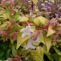 Abelia × grandiflora 'Gold...