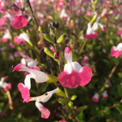 Salvia microphylla 'Pink Lips'