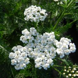 Achillea millefolium 'New...