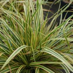 Carex morrowi 'Everglow'