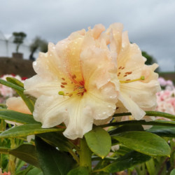 Rhododendron 'Apricot Nectar'