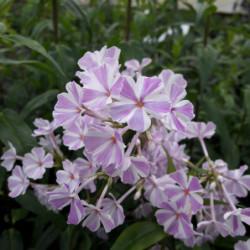 Phlox maculata 'Natasha'