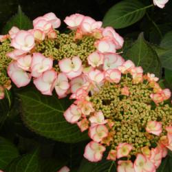 Hydrangea macrophylla 'Charm'