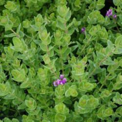 Polygala myrtifolia 'Nana'