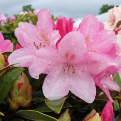 Rhododendron yakushimanum...