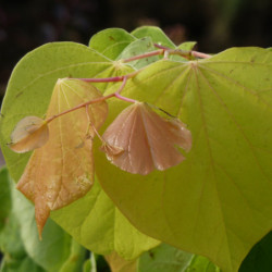 Cercis canadensis 'The...