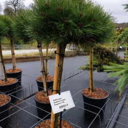 Pinus nigra 'Bambino Gaëlle...