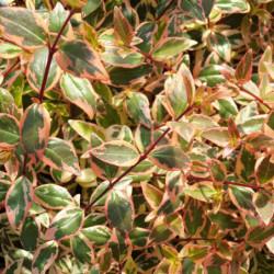 Abelia × grandiflora...